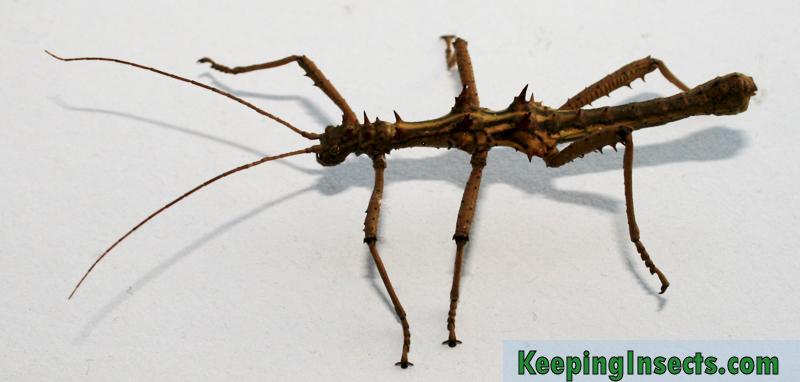 Aretaon-asperrimus-male