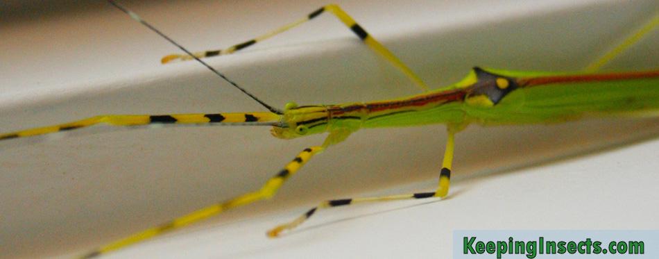 Necroscia-annulipes-psg290
