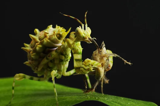 Spiny Flower Mantis – Keeping Insects