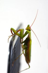 European mantis adult male