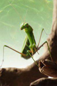 European mantis adult