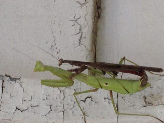 Mating pair Carolina Mantis. The actual mating has started.